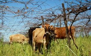 Atividade leiteira garante cerca de R$ 3 milhões de renda todo mês às famílias das dez principais comunidades produtoras