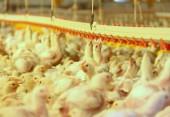 Avicultura continua sendo o segmento com maior participação na produção agropecuária de Beltrão
